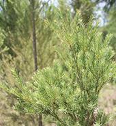 种植基地的澳洲茶树实拍图2