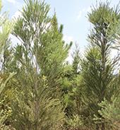 种植基地的澳洲茶树实拍图5